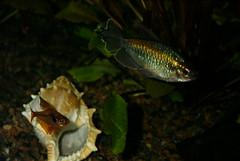 Congo tetra, fantom tetra (ordo.dk) Tags: fish fisk dyr