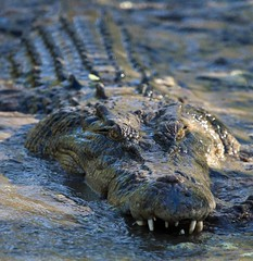 Crocodiles, Broome (C) 2008