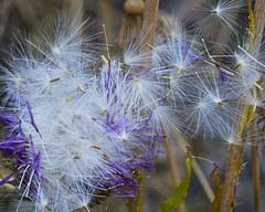 Gone With the Wind (Von Taylor) Tags: nature wildflowers botanicals d300 naturelovers sigma105mm abigfave natureselegantshots