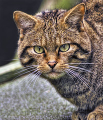 Scottish Wildcat (the_mog) Tags: cat dundee wildcat carnivore camperdown camperdownpark felissilvestrisgrampia camperdownwildlifecentre
