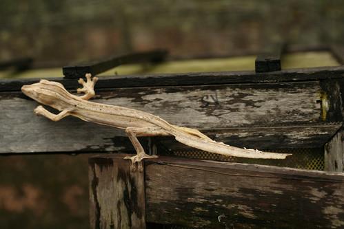 Lined Leaf-tail Gecko - Exotic Reserve Peyrieras, Madagascar