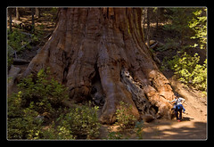 Sequoia Sempervirens (shardox) Tags: california trees tree giant rboles yosemite rbol yosemitenationalpark sequoia gigante sequoiasempervirens secuoya