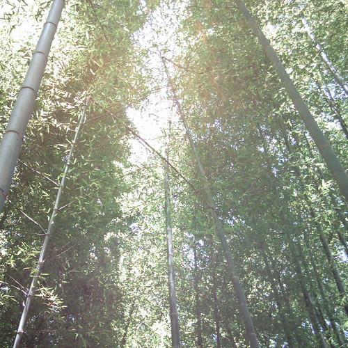 Bamboo grove [ Meigetsu-in / Kamakura ]