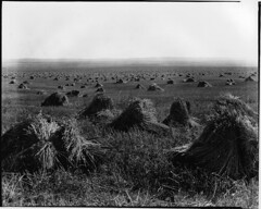 Wheat near Standard, AB, about 1920 (Muse McCord Museum) Tags: canada wheat grain harvest alberta prairie standard 1920 stacks mccordmuseum stooks stook musemccord