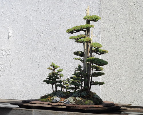 japanese maple bonsai tree. your Japanese maple tree