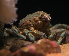 Waking Up A Bit Crabby (Erik Charlton) Tags: california camping aquarium bay monterey night camp museum at in aquarium monterey