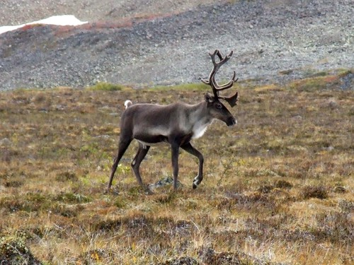 Caribou by Travis S..