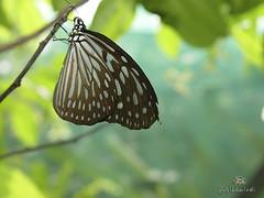 Butterfly (alkhaledi) Tags: mywinners