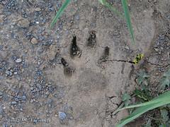 Asturias - Huella de lobo - Footprint wolf