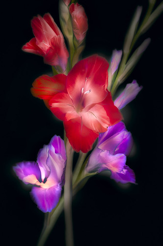 Red and Purple Gladiola