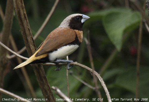Chestnut-breasted Munia (Lonchura castaneothorax) by aviceda.