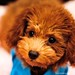 プードル:Cute Fuji, little toy poodle