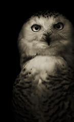 Nyctea scandiaca (zeissizm) Tags: bw white 20d monochrome animal canon eos owl vita nyctea scandiaca impressedbeauty ef70200mmf4lisusm vosplusbellesphotos artistictreasurechest