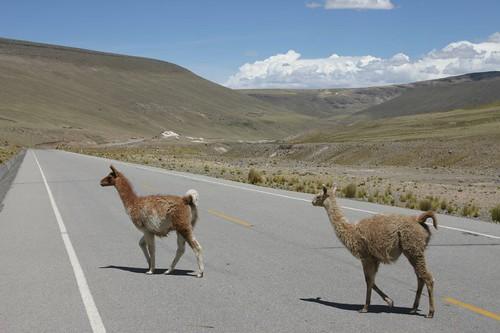 Beware vicuñas!