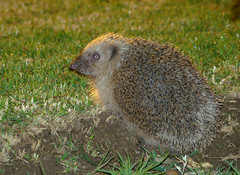 Our nightly visitor outside our hotel room...... (ubichan - Away A LOT :o() Tags: portugal nature mammal nocturnal hedgehog algarve stockshot armaodepra erinaceinae theunforgettablepictures unforgettablepicture cherryontopphotography ubichan