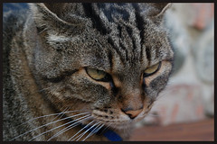 dicevi ???? (manuz73) Tags: nikon occhi felino gatto animale pelo naso baffi d40