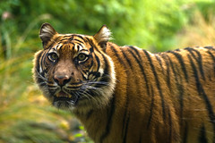 Sumatran Tiger ((Erik)) Tags: zoo rotterdam blijdorp kat searchthebest bigcat sumatrantiger diergaardeblijdorp pantheratigrissumatrae miauwwwggrrrr woehaonthefrontpage