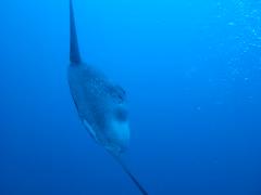 Bali 2008 (monsieur Burns) Tags: bali scubadiving sunfish plongée molamola nusapenida poissonlune