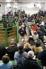Mexico Missouri: Cattle Auction 11.22.2008 (Notley) Tags: november mexico cattle angus auction missouri 2008 mexicomissouri 10thavenue audraincounty notley cattleauction ruralphotography sydenstricker notleyhaw
