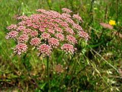 ( Graa Vargas ) Tags: brown flower canon wildflower graavargas 2008graavargasallrightsreserved 11100060910