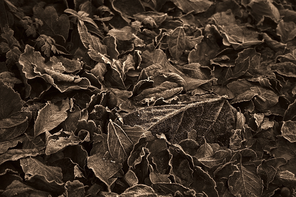 Sepia Leaves, Auto Adjust Colours