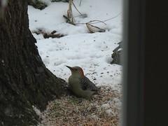Woodpecker outside my window (Making memories...) Tags: winter snow tree bird window woodpecker seed feeders