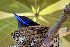 The female African paradise-flycatcher (Terpsiphone viridis) on nest duty (Arno Meintjes Wildlife) Tags: africa park family camp wallpaper holiday color art nature animal animals closeup southafrica bush wildlife safari explore endangered ff animalplanet mammalia rsa krugernationalpark mpumalanga krugerpark carnivore birdwatcher excellence big5 naturelovers knp sanparks naturesfinest naturescall terpsiphoneviridis flickrsbest meintjes colorphotoaward arnomeintjes naturewatcher internationalgeographic uxolobird naturesgreenpeace africanparadiseflycatcherchicks