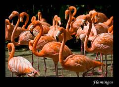 Flamingos - Jurong Bird Park, Singapore (Souvik_Prometure) Tags: singapore flamingo jurongbirdpark jurong birdpark souvikbhattacharya