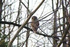 Barred Owl 1 April 8 2009 (DJmick) Tags: snow pennsylvania owl april barred
