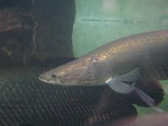 The Shedd Aquarium (ShawnS52) Tags: chicago aquarium illinois shedd arapaima