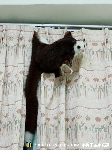 小梅子爬窗簾