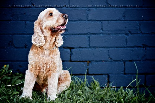 Buddy Cocker Spaniel by twoguineapigs pet photography, dog portrait