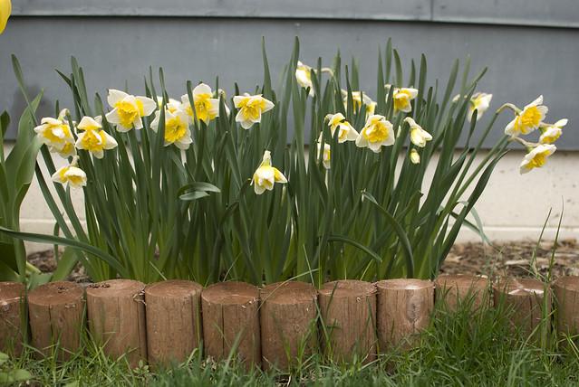 back daffodils