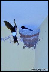 due cuori ,una capanna (danilo.arigo) Tags: primavera natura uccelli nido cibo rondini