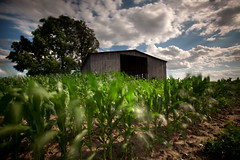 Young Corn (Notley) Tags: sky usa clouds barn corn farm missouri agriculture callawaycounty bucolic riverbottoms 10thavenue mokanemissouri notley ruralphotography notleyhawkins missouriphotography httpwwwnotleyhawkinscom notleyhawkinsphotography