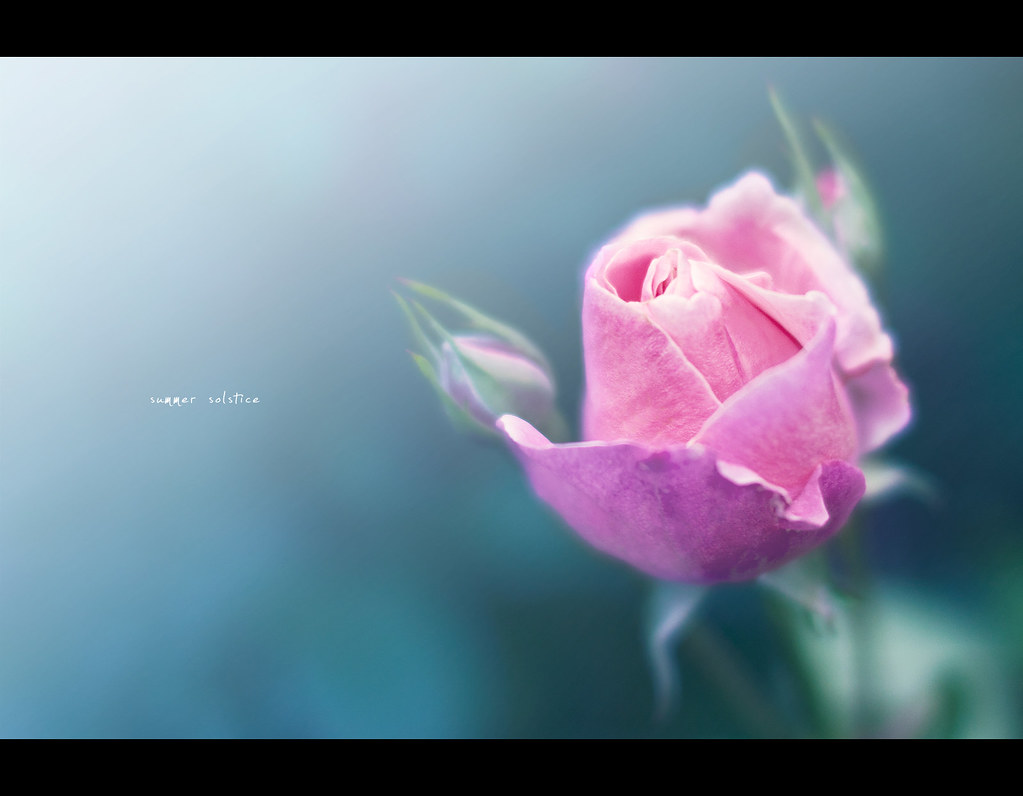 Project 365, Day 320, 320/365, bokeh, 50 mm, Sigma 50mm F1.4 EX DG HSM, rose, flare,