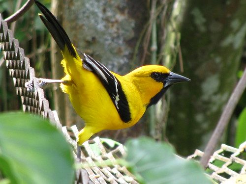 South American Yellow Oriole [Icterus Nigrogularis] (7)