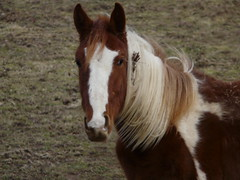 Paint Horse Number 3 (chippewabear) Tags: horses pony ponies equine pinto paints