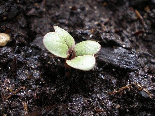 Radish Seedling
