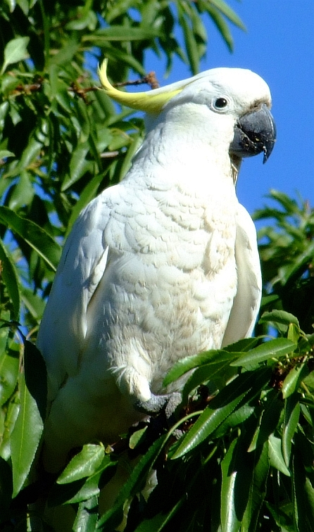 cockatoo 12