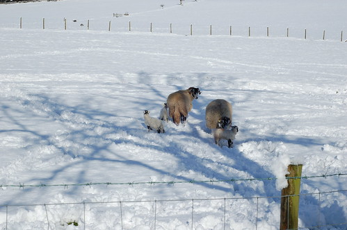 Lambs in the snow