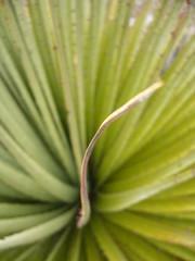 Huaynacotas plante