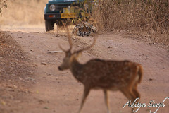 The one that got away (dickysingh) Tags: india nature cat outdoor wildlife bigcat aditya predator ranthambore singh ranthambhore dicky tigerreserve wildtiger pantheratigristigris stalkingtiger adityasingh ranthamborebagh theranthambhorebagh indiatiger tigeranddeer wwwranthambhorecom