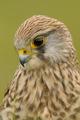 European Kestrel (Falco tinnunculus) (m. geven) Tags: netherlands female nikon adult vrouw kestrel falcotinnunculus d300 torenvalk naturesfinest specanimal animalkingdomelite 200400vr topqualityimageonly