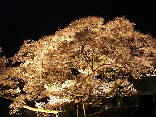 仏隆寺(千年桜)ライトアップ-05