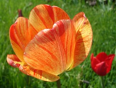 My favorite... (langkawi) Tags: red favorite macro colors yellow ilovenature tulip langkawi tulpe tulipan naturesfinest britzergarten rotgelb anawesomeshot superlativas geflammt