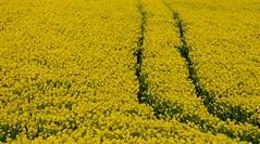 #FFFF00 (shaymurphy) Tags: ireland summer nature field yellow newcastle forsale irland buy wicklow index purchase irlanda irlande ierland irska sobeautiful  ffff00 irlandia irsko   airija irlanti  iirimaa redbubble rorszg platinumheartaward   rija rsko  titleideafromiamnotanumber8885  explore55nov242008