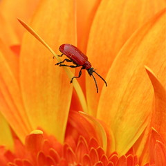 The brave adventurer (cattycamehome) Tags: red orange flower colour macro floral tag3 taggedout bug insect petals travels tag2 tag1 bright petal adventure explore journey gerbera ~ bravery catherineingram lilybug xoxoxoxo april2008 cattycamehome ihopeeverthingiswellmissingu