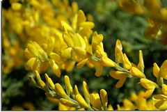 Sweet Broom (scrapping61) Tags: california flowers nature yellow flora blossoms explore 2008 mysistersgarden sweetbroom anawesomeshot scrapping61