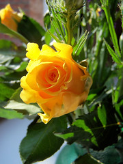 The Yellow Rose (Darling Starlings Flying the Nest) Tags: flower yellow gladness friendship joy yellowrose devotion bouquet flickrgolfclub flowermeaning